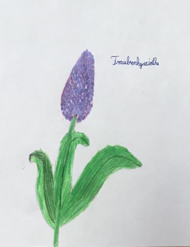 Veselina - TRAUBENHYAZINTHE